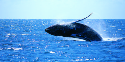 Image of Whale Breaching